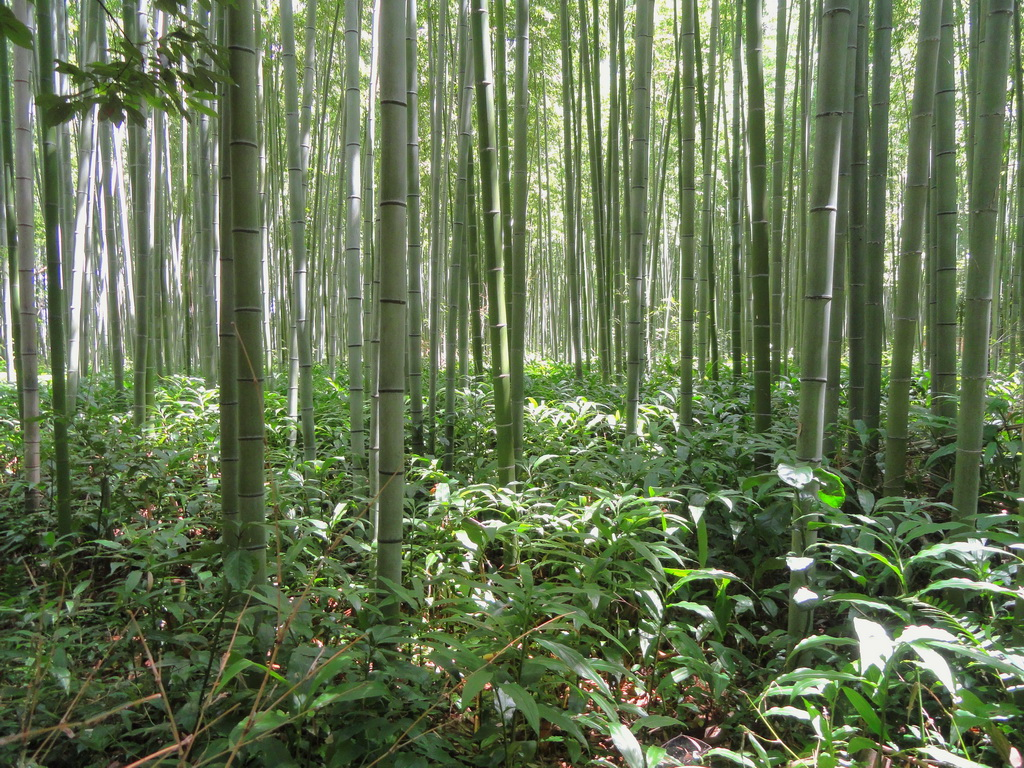 A_kyoto_japan_bamboo_woods_nature_landscape_garden_Archi-living_resize.jpg