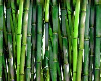 bamboo stalks meaning,bamboo in architecture,origin of bamboo plant,bamboo cultural meaning,most popular construction materials natural,