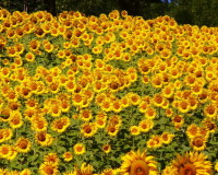 yellow sunflowers images,yellow color flowers photos,colorful spring scenery,sunflowers in the garden,garden design ideas,