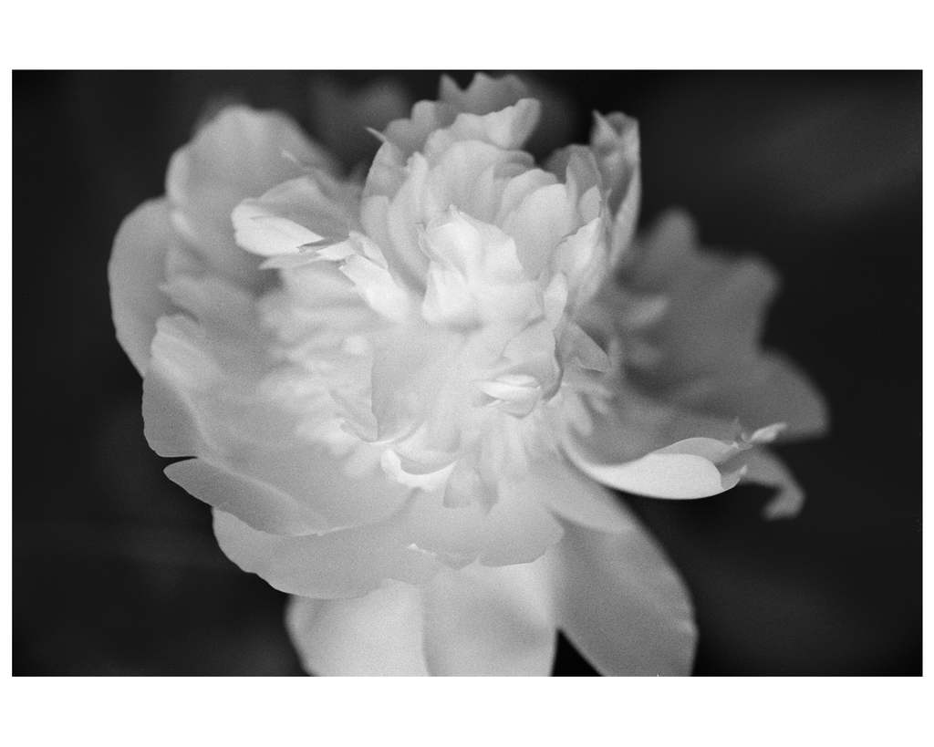 D_Beth-O'Donnell_Peonies_flowers_New-Art-at-NIBA-Home_Archi-living_resize.jpg
