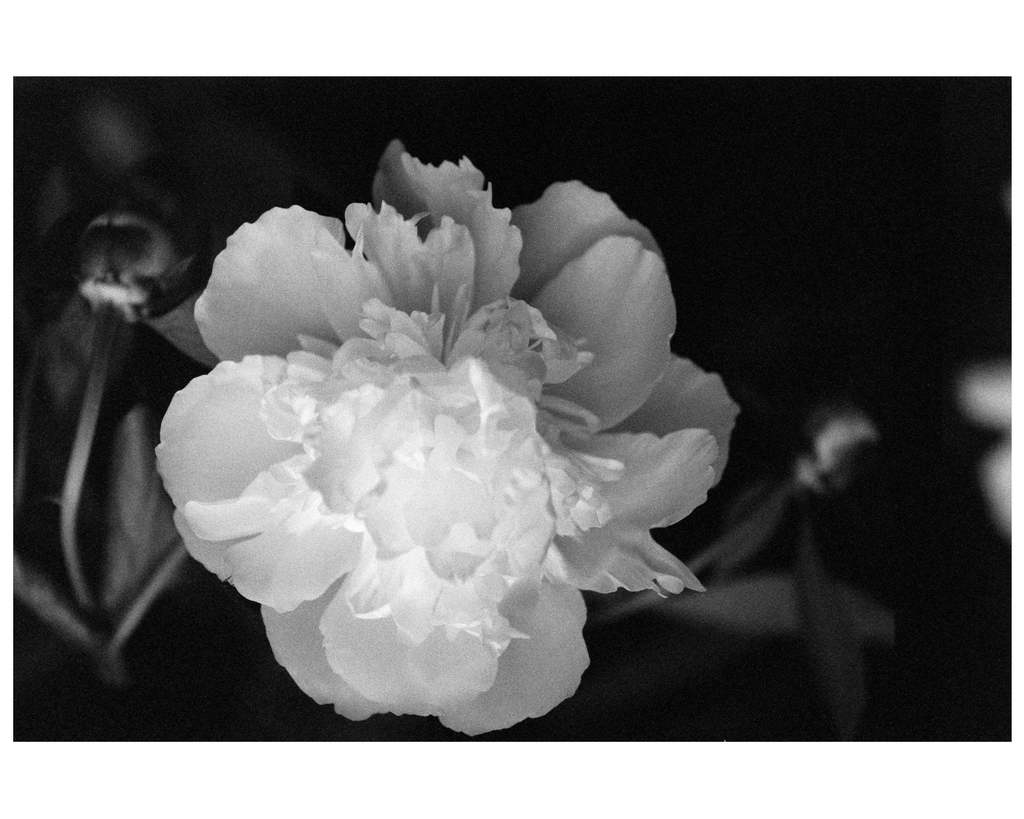 E_Beth-O'Donnell_Peonies_flowers_New-Art-at-NIBA-Home_Archi-living_resize.jpg