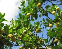 lemon tree,lemons,yellow color,yellow lemons,citrus,citrus fruit,fruit,exterior design,porch design,landscape design ideas,garden architecture,beautiful garden ideas,beautiful garden design,exterior design ideas,outdoor,landscape design,