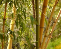 origin of bamboo plant,bamboo cultural meaning,most popular construction materials natural,bamboo stalks meaning,bamboo in architecture,