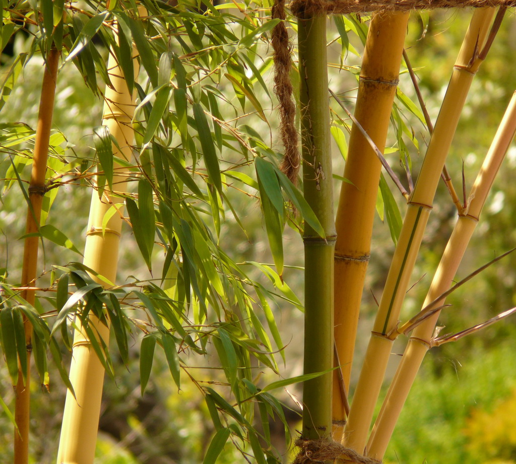 strong bamboo meaning,resilient plants in the world,plants symbolising strength,bamboo in gardening,plants symbolising friendship,