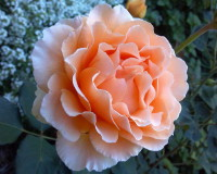 coral rose color,beautiful rose flowers images,colorful spring scenery,orange color rose flower images,beautiful orange flowers images,