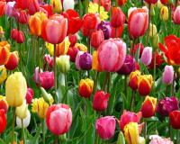 colorful tulip fields,pink and yellow tulips bulbs,red tulips in landscape,beautiful flowers images,colorful spring scenery,