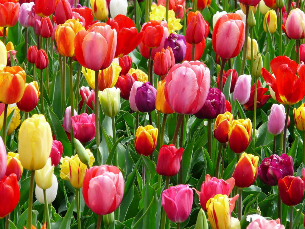 tulips,tulip bed,colorful tulips,garden tulips,tulips in the garden,Nature,meadow,colorful flowers,park design,garden design,beautiful garden,exterior design,porch design,small garden design,landscape design ideas,garden architecture,beautiful garden ideas,beautiful garden design,exterior design ideas,flowers,blooming flowers,garden flowers,garden art,flowers in design,spring flowers,love flowers,beautiful flowers,language of flowers,color meanings,color design,spring colors,pastel colors,strong colors,
