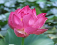pink lotus photography,beautiful flowers ideas,lotus blossom,flower field images,pink lotus,