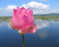 lotus flower in water,pink lotus photo,beautiful flowers Nature,garden lotus pond,pink lotus,