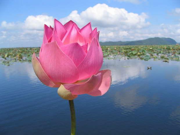 The Symbolism Of The Lotus Archi Living Com