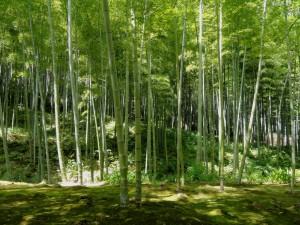 NASLOVNA_kyoto_japan_bamboo_woods_nature_landscape_garden_Archi-living_resize.jpg