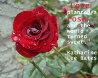 love planted a rose and the world turned sweet,red rose photography,love romantic rose quotes,katharine lee bates quotes,romantic love quotes for husband,