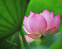lotus flower pictures,pink lotus images,pink lotus symbolism,beautiful flowers Nature,floral beauties,