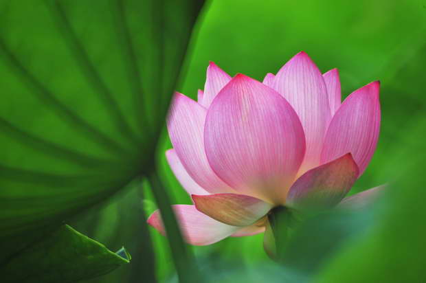 lotus,lotus flower,lotus root,blossoming lotus,lotus meaning,lotus symbol,lotus garden,pink lotus,pink lotus symbolism,pink lotus meaning,indian lotus,lotus pond,lotus india,lotus thailand,lotus cambodia,lotus vietnam,lotus chinese,lotus asia,asia lotus,pink color,sunrise,sunset,flowers,blooming flowers,garden,garden flowers,Nature,sky,garden art,landscape,flowers in design,flower symbol,flower meanings,beautiful garden,love flowers,beautiful flowers,language of flowers,exterior design,
