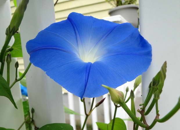Nature,Morning Glory,Flowers,Blue Flower,Blue Color,Green Color,Garden Flowers,Garden Design,beautiful garden ideas,beautiful garden design,
