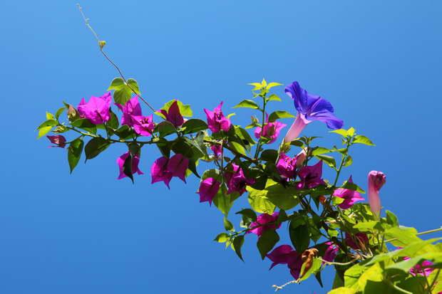 Bougainvillea, Flowers, Garden Flowers, Garden Design, Sky, Blue Sky, Nature, Landscape Design