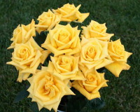 rose,rose symbolism,yellow rose meaning,love flowers,beautiful flowers,language of flowers,color meanings,color design,spring colors,pastel colors,strong colors,yellow color,yellow rose symbolism,flowers,blooming flowers,garden flowers,Nature,garden art,landscape,flowers in design,flower symbol,flower meanings,spring flowers
