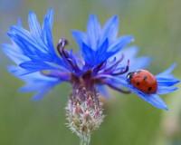 Blue Flowers, Blue Color, Cornflower, Cornflower Blue, Ladybug, Ladybug on Flower, Landscape Design, Garden Design