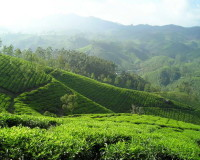 tea plantation in india,green tea plantation images,tea cultivation in india,