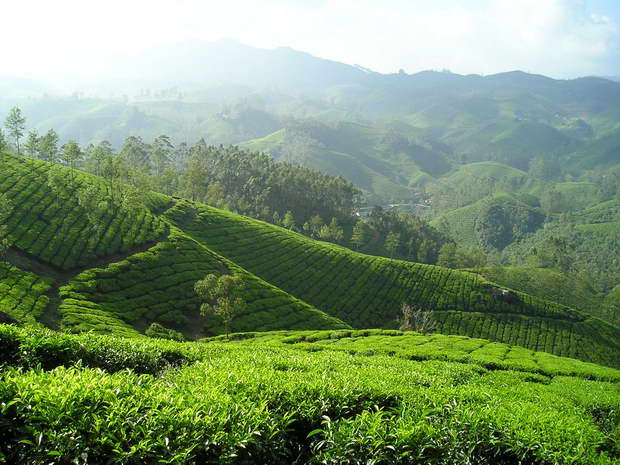 india,tee,tea,plantation,green color,landscape design ideas,green fields,indian fields,beautiful garden ideas,beautiful garden design,exterior design ideas,outdoor,garden design,