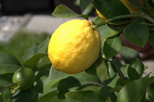lemon fruit tree,yellow and green lemon,history of lemons,beauty tips with fruit,garden design ideas,