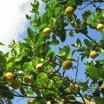 Lemon – the Natural Source of Health and Beauty