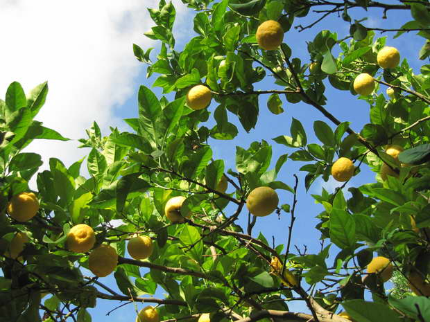 lemon tree photo,lemon nature tree,citrus health benefits,lemon tree blue sky,lemon beauty tips,