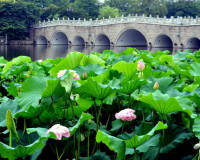 lotus flower information,beautiful flowers ideas,lotus blossom Chinese,garden flowers,flower field images,
