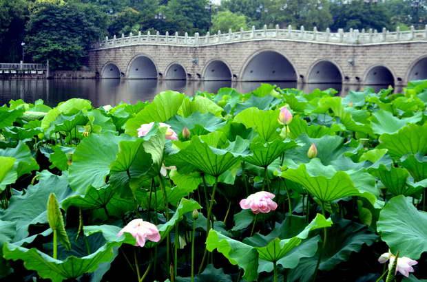 The symbolism of the lotus archi living lotus chineselotus asiaasia lotuslotuslotus flowerlotus root mightylinksfo