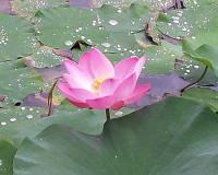 lotus flower in water,lotus flower information,pink lotus photo,beautiful flowers garden,garden lotus pond,