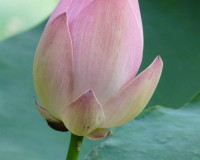 pink lotus images,beautiful flowers images,garden lotus flower,garden design ideas,pink lotus,