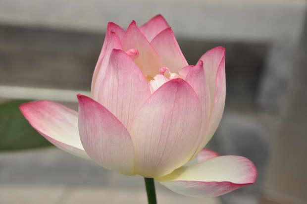 lotus,lotus flower,lotus root,blossoming lotus,lotus meaning,lotus symbol,lotus garden,pink lotus,pink lotus symbolism,pink lotus meaning,blooming flowers,garden,garden flowers,Nature,