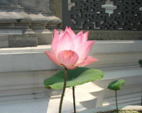 lotus flower images,pink lotus images,beautiful flowers in the world,lotus blossom images,floral beauty inspiration,