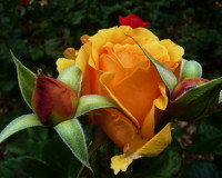 rose,rose symbolism,yellow rose meaning,red rose symbolism,love flowers,beautiful flowers,language of flowers,color meanings,color design,spring colors,pastel colors,strong colors,yellow color,yellow rose symbolism,flowers,blooming flowers,garden flowers,Nature,garden art,landscape,flowers in design,flower symbol,flower meanings,spring flowers,wedding flowers,floral wedding decorations,rose wedding,orange roses,wedding bouquet,wedding bouquet ideas