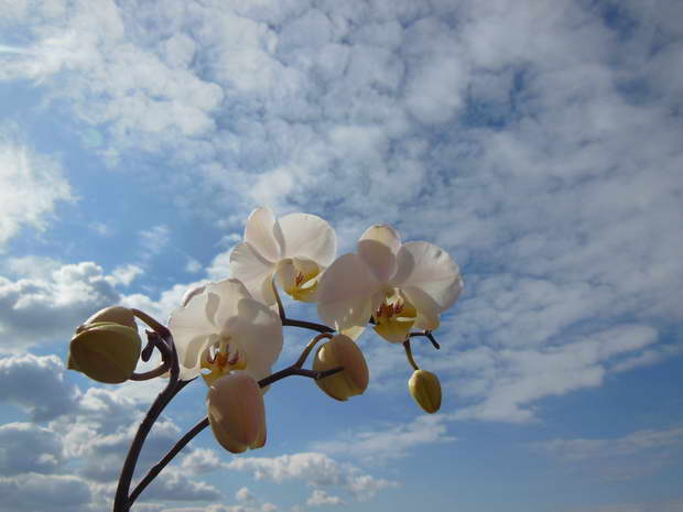 white orchid,blue sky,white orchid bridal,white orchids flowers,images of white orchids flowers,