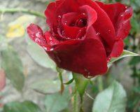 red rose,rose,flowers,blooming flowers,garden flowers,Nature,garden art,landscape,flowers in design,flower symbol,flower meanings,spring flowers,beautiful garden,rose garden,rose garden ideas,romantic flowers,romantic rose,