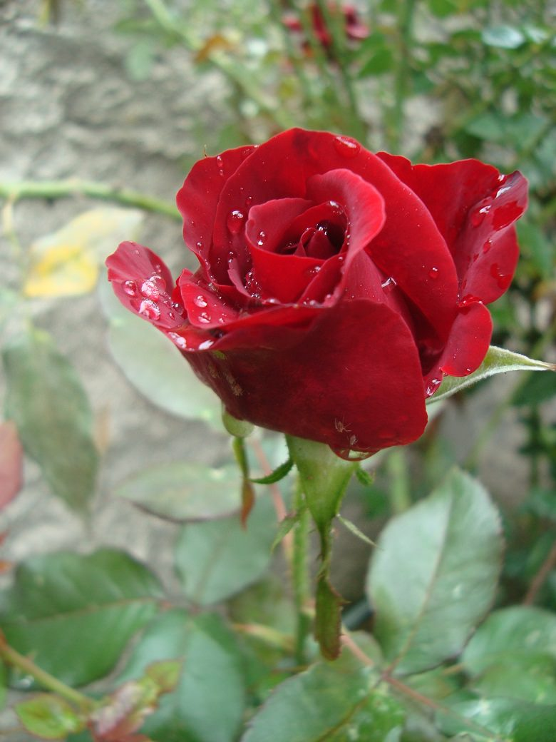 red rose,Nature,roses,romantic flowers,romantic rose,love flowers,beautiful flowers,language of flowers,beautiful garden ideas,beautiful garden design,exterior design ideas,outdoor,garden design,design,terrace,balcony,outdoor design,terrace design,balcony design,landscape design,decoration ideas,design inspiration,design ideas,red,red color,colourful,vibrant colors,color,primary colors,complementary colors,