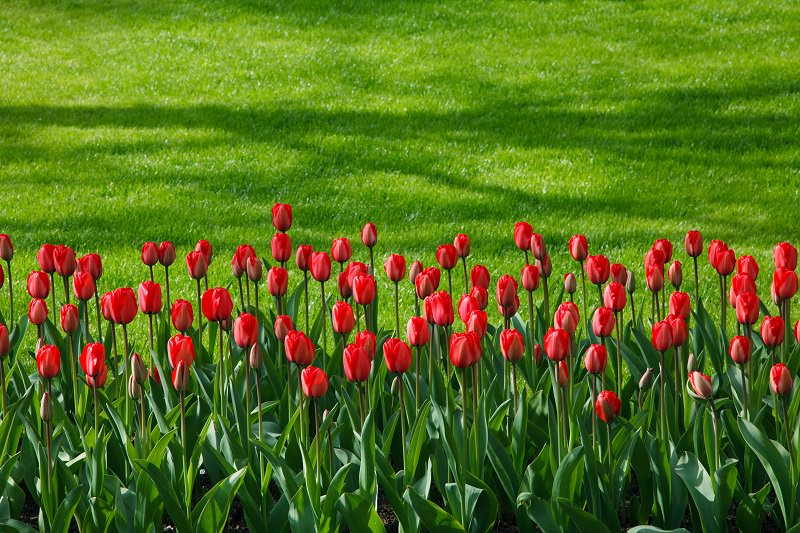 red tulips,green grass,complementary colors,complementary scheme,Nature,flowers,blooming flowers,garden flowers,garden art,flowers in design,flower symbol,flower meanings,spring flowers,love flowers,beautiful flowers,language of flowers,landscape,outdoor,beautiful garden,exterior design,small garden design,landscape design ideas,