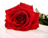 red,red color,rose,red rose,rose symbolism,red rose symbolism,love flowers,beautiful flowers,language of flowers,color meanings,romantic,color of love,wedding decorations,flower bouquet,flower bouquet ideas,flower bouquet designs,wedding flowers,floral wedding decorations,rose wedding,wedding bouquet,wedding bouquet ideas,romantic flowers,romantic rose,rose meaning,valentines day,romantic decorations,romantic decorating ideas,