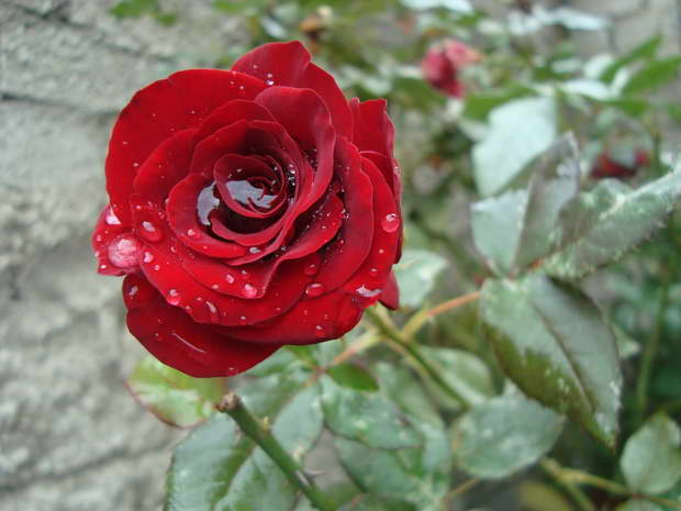 red rose,rose,rose symbolism,red rose symbolism,flowers,blooming flowers,garden flowers,Nature,garden art,landscape,flowers in design,flower symbol,flower meanings,spring flowers,beautiful garden,rose garden,rose garden ideas,romantic flowers,romantic rose,rose meaning,red rose meaning,love flowers,beautiful flowers,language of flowers,romantic decorations,romantic decorating ideas,color meanings,color design,spring colors,pastel colors,strong colors,exterior design,porch design,landscape design ideas,garden architecture,beautiful garden ideas,beautiful garden design,exterior design ideas,valentines day,romantic,color of love,wedding decorations,outdoor,garden design,design,terrace,balcony,outdoor design,terrace design,balcony design,red,red color,colourful,vibrant colors,color,primary colors,complementary colors,color theory,color symbolism,color healing,color treatment,seasonal decorations,art,artwork,art ideas,