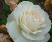 white rose meaning,white color,white rose symbolism,flowers,blooming flowers,garden flowers,rose,rose symbolism,love flowers,beautiful flowers,language of flowers,color meanings,flowers in design,flower symbol,flower meanings,romantic,color of love,wedding decorations,flower bouquet,flower bouquet ideas,flower bouquet designs,wedding flowers,floral wedding decorations,rose wedding,wedding bouquet,wedding bouquet ideas,romantic flowers,romantic rose,rose meaning,romantic decorations,romantic decorating ideas,