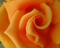 orange roses,wedding bouquet,wedding bouquet ideas,romantic flowers,romantic rose,rose meaning,orange rose bouquet,orange roses meaning,colorful bouquet of flowers,colorful rose bouquet,flowers in design,flower symbol,flower meanings,flowers,blooming flowers,garden flowers,Nature,garden art,landscape,