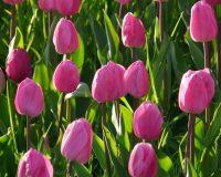 tulip,pink tulip,pink color,garden,garden design ideas,famous gardens,outdoor,garden design,design,terrace,balcony,flowers,blooming flowers,garden flowers,garden art,flowers in design,landscape design,landscape,beautiful garden,exterior design,porch design,small garden design,landscape design ideas,