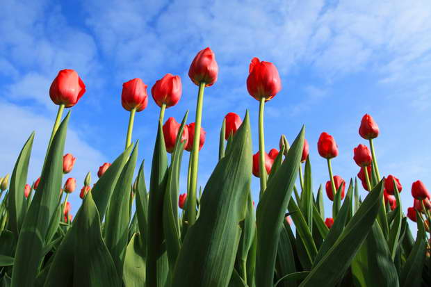 Nature,Tulip,Red Tulips,Flowers,Garden Flowers,Blue Sky,Sky,Garden Design,