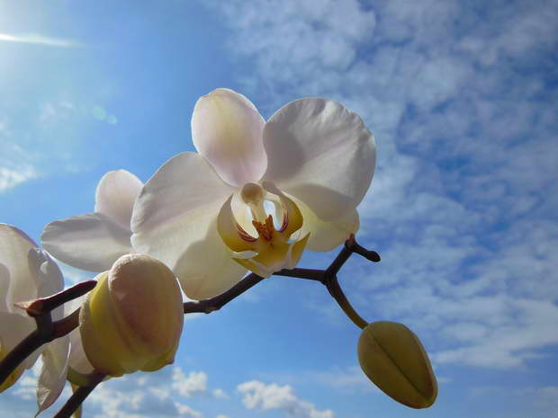 orchid,white orchid,phalaenopsis,bloom,summer,white color,blooming flowers,garden,garden flowers,Nature,sky,garden art,landscape,flowers in design,flower symbol,flower meanings,spring flowers,beautiful garden,love flowers,beautiful flowers,language of flowers,exterior design,